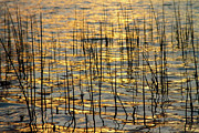 Sunset Canvas Art Framed Prints - Golden Lake Ripples Framed Print by James Bo Insogna