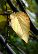 Tree Leaf Digital Art Posters - Golden Leaf Poster by Glennis Siverson