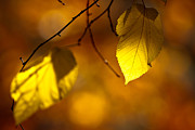 Griffith Framed Prints - Golden leaves Framed Print by Carl Jackson