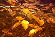 Daphne Sampson - Golden Leaves
