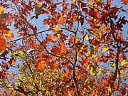 Fall Leaves Photos - Golden Leaves by Kathy Bucari
