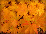 Golds Posters - Golden Leaves of Maple Poster by Cindy Wright