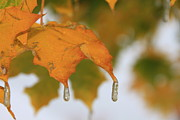 Ft Collins Originals - Golden Leaves Silvery Drops by Cynthia  Cox Cottam