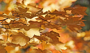 Orange Leaves Framed Prints - Golden Light Autumn Maple Leaves Framed Print by Jennie Marie Schell