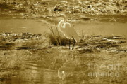 Golden Pond Framed Prints - Golden Light on Great Egret Framed Print by Carol Groenen