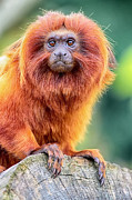Simon Bratt Photography Prints - Golden Lion Tamarin Print by Simon Bratt Photography