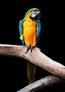 Blue And Yellow Macaw Prints - Golden Macaw Print by Pete Reynolds