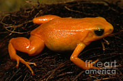 Critically Endangered Animals Prints - Golden Mantella Print by Dante Fenolio