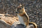 Squirrel Prints Photo Prints - Golden Mantled Ground Squirrel Print by James Marvin Phelps