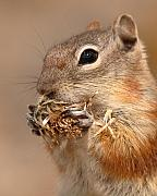 Colorado Art - Golden-mantled Ground Squirrel Nibbling On A Bite by Max Allen
