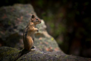 Dark Prints - Golden Mantled Ground Squirrel Rocky Mountains Colorado Print by Christine Till