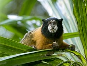 Amazonian Rainforest Prints - Golden-mantled Tamarin Print by Tony Camacho