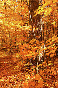Autumn Leaf Photos - Golden maple trees by Sandra Cunningham