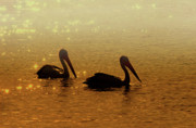Pelican Photos - Golden Morning by Mike  Dawson