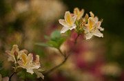 Rhododendron Photos - Golden Morning by Mike Reid