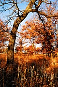 Rochester Prints - Golden Oaks Print by Larry Ricker
