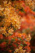 Rhodies Posters - Golden Orange Radiance Poster by Mike Reid