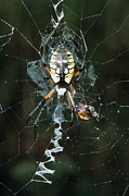 Black And Yellow Metal Prints - Golden Orb Weaver Spider Metal Print by Georgette Douwma