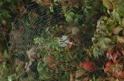 Arachnids Prints - Golden Orb Weaver Spider In Web Print by Bates Littlehales