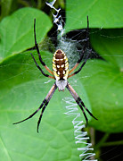 Orb Weaver Framed Prints - Golden Orb Weaver Spider Framed Print by Tony Grider