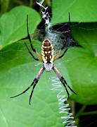 TONY GRIDER - Golden Orb Weaver Spider