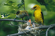 Orioles Framed Prints - Golden Orioles Feeding Their Nest Framed Print by Klaus Nigge