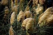 Vicky Browning Posters - Golden Pampas in the Wind Poster by DigiArt Diaries by Vicky Browning