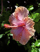 Kevin W. Smith Framed Prints - Golden Peach Hibiscus Framed Print by Kevin Smith