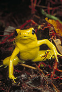 Animalsandearth Photos - Golden Poison Dart Frog Phyllobates by Mark Moffett