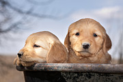 Beautiful Eyes Posters - Golden Puppies Poster by Cindy Singleton