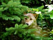 Wolves In Nature Posters - Golden Red Wolf Poster by Debra     Vatalaro