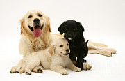 Domesticated Animals Prints - Golden Retriever And Puppies Print by Jane Burton