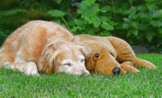 Sleeping Dogs Photos - Golden Retriever Buddies by Jennie Marie Schell