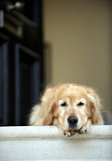 Golden Retriever Dog Lying In Front Door Of House, Looking Away (focus On Foreground) Print by Janie Airey