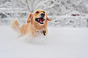 Running Dog Framed Prints - Golden Retriever Dog Running On Fresh Snow Framed Print by Maya Karkalicheva