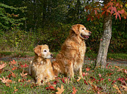 Golden Brown Posters - Golden Retriever Dogs Autumn Poster by Jennie Marie Schell