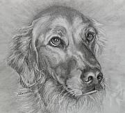 Print Card Drawings Posters - Golden Retriever Drawing Poster by Susan A Becker