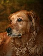Dog Photo Posters - Golden Retriever Poster by Jan Piller