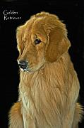 American Kennel Club Posters - Golden Retriever Poster by Larry Linton