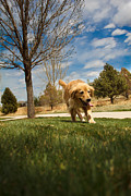 Retriever Digital Art - Golden Retriever by Mike Ricci