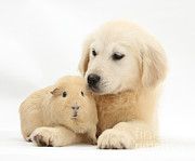 House Pet Prints - Golden Retriever Pup And Yellow Guinea Print by Mark Taylor