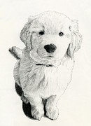 Dogs Drawings - Golden Retriever Pup by Chris Trudeau
