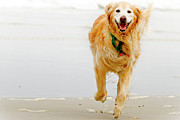 Y120817 Art - Golden Retriever Running On Beach by Stephen O