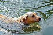 Susan Leggett Acrylic Prints - Golden Retriever Swimming Close Acrylic Print by Susan Leggett