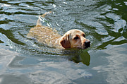Susan Leggett Acrylic Prints - Golden Retriever Swimming Acrylic Print by Susan Leggett