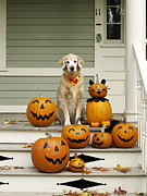 Front Porch Framed Prints - Golden Retriever With Halloween Pumpkins On Porch Framed Print by James Baigrie