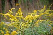 Rde Prints - Golden rod - Solidago fistulosa Print by Roy Erickson