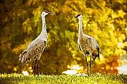 Cranes Originals - Golden Sandhill Cranes by Paul Bartoszek