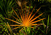 Oscar Scherer State Park Prints - Golden Saw Palmetto Print by John Myers
