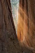 Sequoia National Park Prints - Golden Sequoia Print by Sandra Bronstein